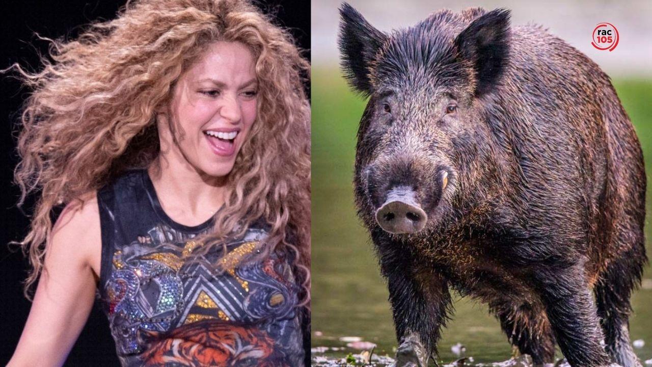 """""""Els vaig plantar cara!"""": Shakira és atacada per dos porcs senglars a Barcelona"""